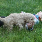 Labradoodle pups and Fabian