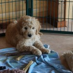 Labradoodle puppies waiting for families