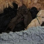 Labradoodle puppies with mommy