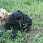 Labradoodle puppies playing