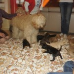 Labradoodle - people socialization