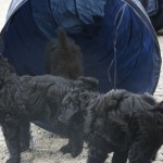 Labradoodle pups and tunnel