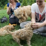 Labradoodle pups and visitors