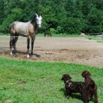 Labradoodle pups, horse