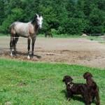Labradoodle pups, horse