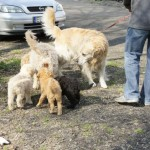 Labradoodle pups and dogs