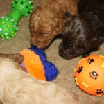 Labradoodle pup start playing
