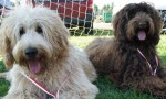 Australian Labradoodles, medals
