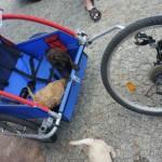 Labradoodle ride