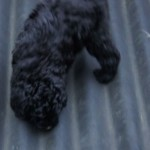 Labradoodle, roof