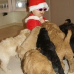 Labradoodle, safe children, little santa