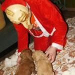 Labradoodle, santa in mask