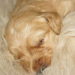 Labradoodle puppy sleeping