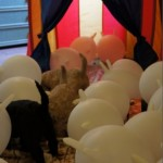 Labradoodle, tent, baloons