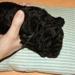 Labradoodle, thermal stimulation
