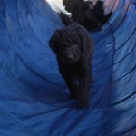 Labradoodle, tunnel