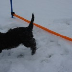 Labradoodles & agility field