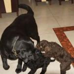 Labradoodles and labrador