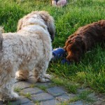 Labradoodles and other dog
