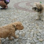 Labradoodles and other dogs
