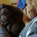 Australian Labradoodles and quests