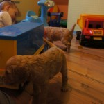 Labradoodle puppies playing in Fabians room