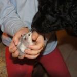 Labradoodle, hamster