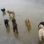 Labradoodles, frozen lake