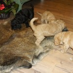 Labradoodle pups and boar skin