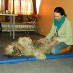 Massage training with Labradoodle Donnan.