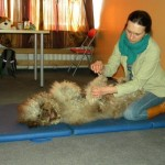 Massage training with labradoodle Donnan