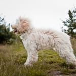 Nessie the Australian Labradoodle