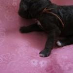 Pup  - Australian Labradoodle