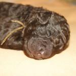 Pup Australian Labradoodle