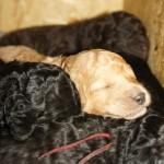Puppies - Australian Labradoodle