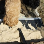 Labradoodle pups and educational field
