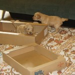 Puppies listening to keyboard