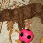 Red labradoodle pup