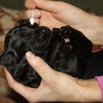 Australian Labradoodle puppy - neurological stimulation