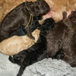 pile of Labradoodles