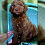 Labradoodle puppy