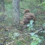 Australian Labradoodle trecking