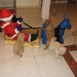 Labradoodles and Christmass