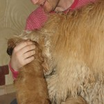 Labradoodles and visitors