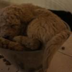 Labradoodle pup nap