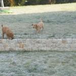 Labradoodles outside