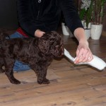 Labradoodle temperament test