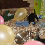 Labradoodle - socialization