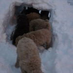 Labradoodles and snow