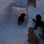 Labradoodles in the snow